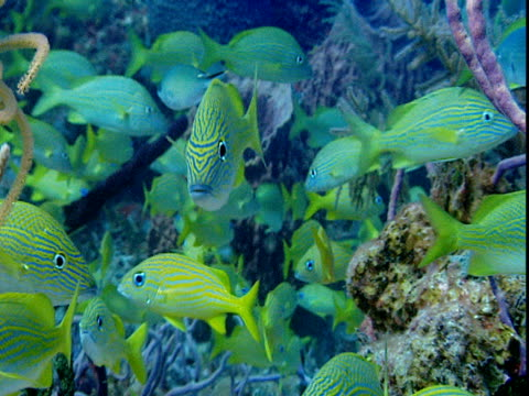 french grunts hover around colorful corals. - grunt fish stock videos and b-roll footage