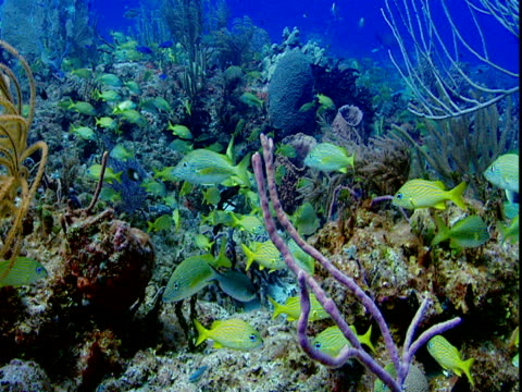 french grunts swim around colorful corals. - grunt fish stock videos and b-roll footage