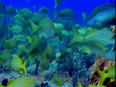 french grunts swim next to corals. - grunt fish stock videos and b-roll footage