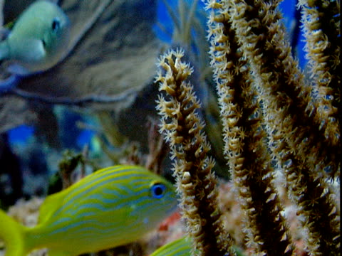 french grunts swim past swaying corals. - grunt fish stock videos and b-roll footage