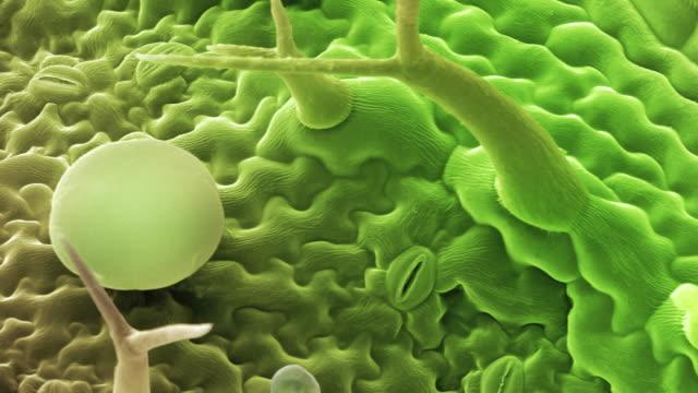vídeos de stock, filmes e b-roll de french lavender leaf surface. - micrografia científica