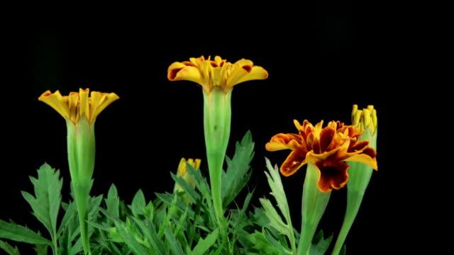 French marigold (Tagetes patula) Blooming HD