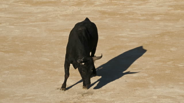 french-style bloodless bullfighting called course camarguaise in saintes-maries de la mer, france - 雄牛点の映像素材/bロール
