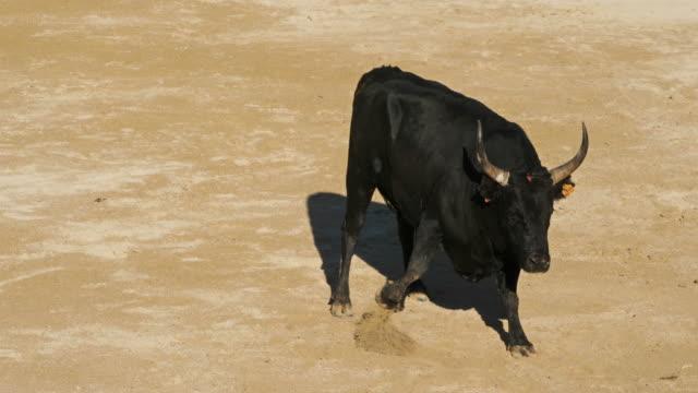 vidéos et rushes de french-style bloodless bullfighting called course camarguaise in saintes-maries de la mer, france - taureau
