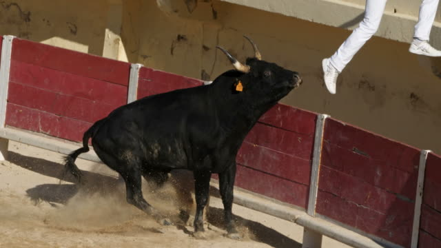 french-style bloodless bullfighting called course camarguaise in saintes-maries de la mer, france - camargue stock-videos und b-roll-filmmaterial
