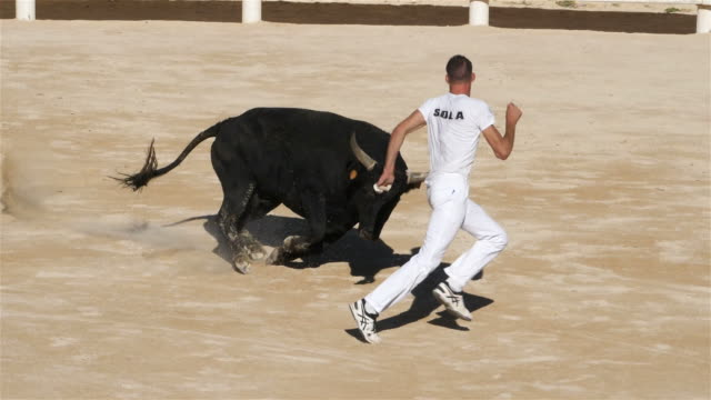 french-style bloodless bullfighting called course camarguaise in saintes-maries de la mer, france - bulle männliches tier stock-videos und b-roll-filmmaterial