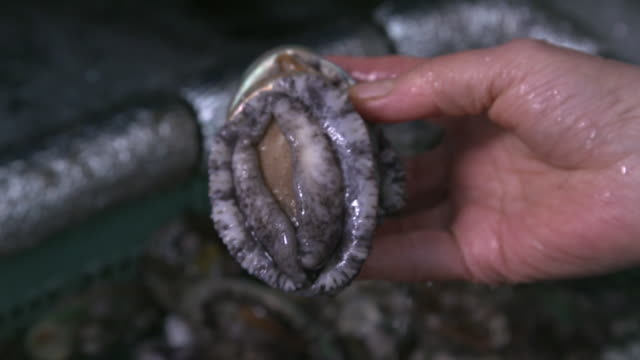 vídeos de stock, filmes e b-roll de a fresh abalone in the hand (korean food) - sashimi