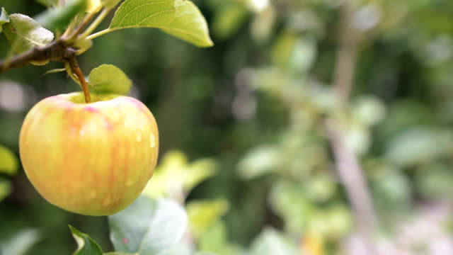Fresh apple on a tree branch.