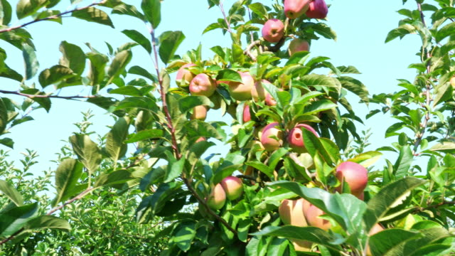 färska äpplen i trädgården - äpple bildbanksvideor och videomaterial från bakom kulisserna
