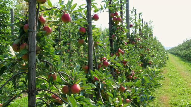 fresh apples in the garden - apple orchard stock videos & royalty-free footage