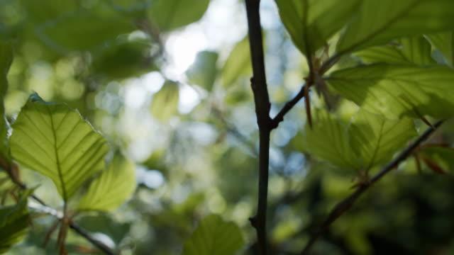 vídeos de stock, filmes e b-roll de folhas de faia frescas na primavera - faia árvore de folha caduca