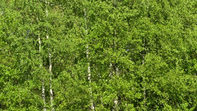 fresh birch leaves in spring - plant attribute stock videos and b-roll footage