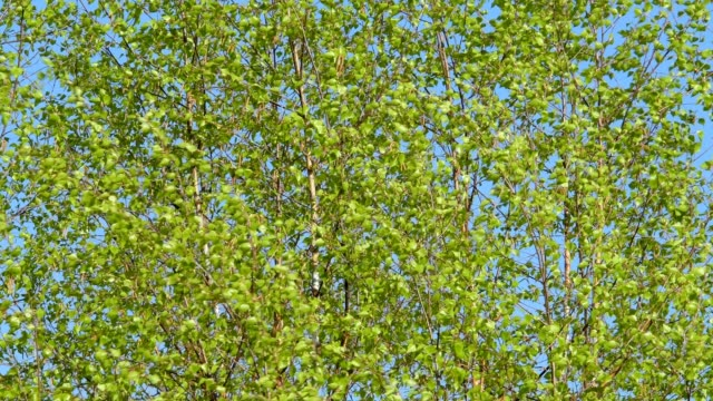fresh birch leaves in the wind - branch stock videos & royalty-free footage
