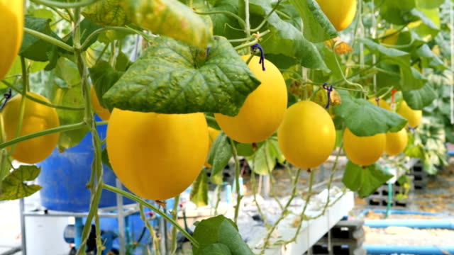 Fresh cantaloupe hanging on tree, Yellow melon in garden