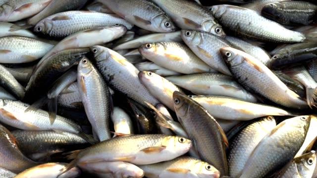 frisch gefangen Fisch aus dem See in einem Boot, viele Arten