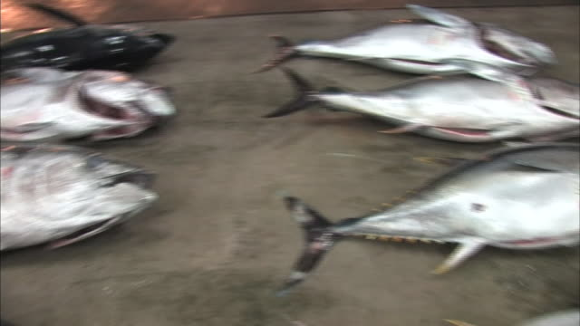 fresh caught tuna - fang stock-videos und b-roll-filmmaterial