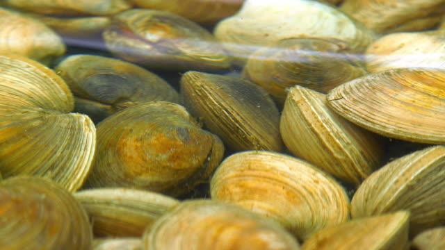 vídeos de stock e filmes b-roll de fresh clams in fish shop - marisco
