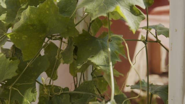 vídeos y material grabado en eventos de stock de coccidios fresco - calabaza no comestible