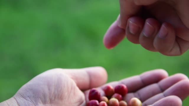 fresh coffee beans on agriculturist hand - bean stock videos & royalty-free footage