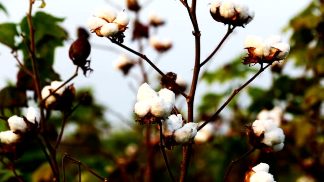 fresh cotton - cotton ball stock videos & royalty-free footage