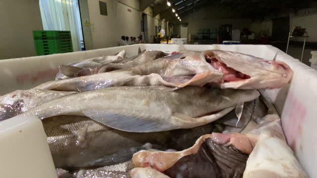 fresh fish in auction hall in fleetwood, lancashire, england, u.k., on tuesday, october 20, 2020. - heap stock videos & royalty-free footage