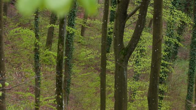 vídeos de stock, filmes e b-roll de fresh foliage in beech forest in spring - faia árvore de folha caduca