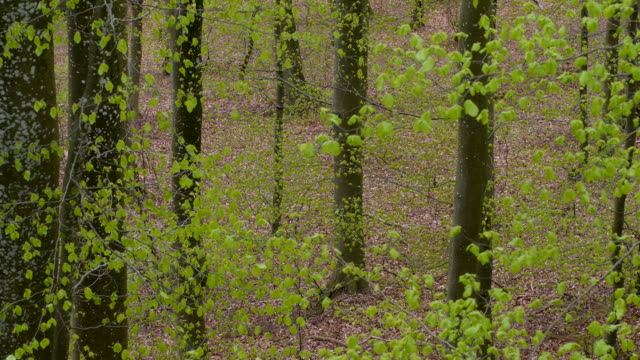 Fresh foliage in beech forest in spring