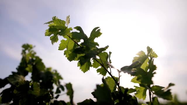 vídeos y material grabado en eventos de stock de uva frescas hojas - hoja de la vid