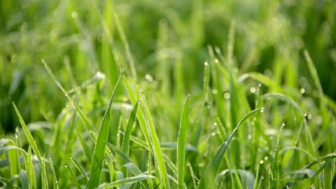 fresh grass with dew drops in the morning - grass stock-videos und b-roll-filmmaterial