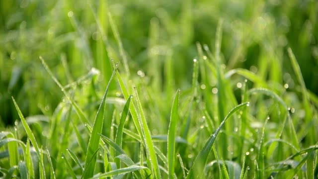 fresh grass with dew drops in the morning - wiese stock-videos und b-roll-filmmaterial