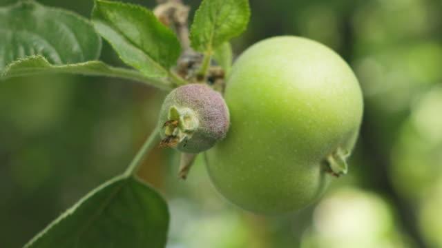 fresh green apple on tree - hanging stock videos & royalty-free footage