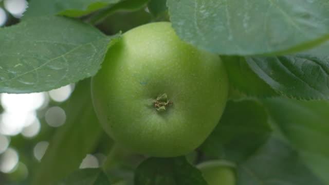 färskt grönt äpple på träd - äpple bildbanksvideor och videomaterial från bakom kulisserna