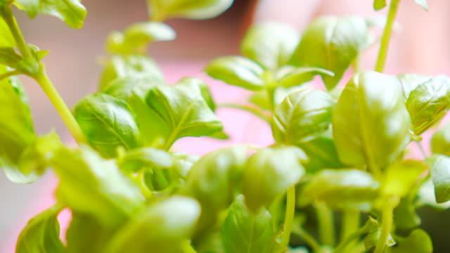 Fresh green basil leaves closeup