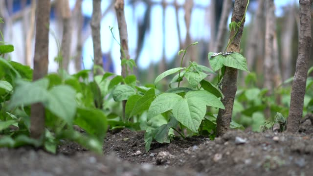 fresh green beans plants in growth at field - green bean stock videos & royalty-free footage