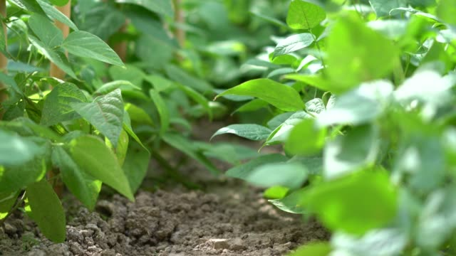 fresh green beans plants in growth at field - plant pod stock videos & royalty-free footage