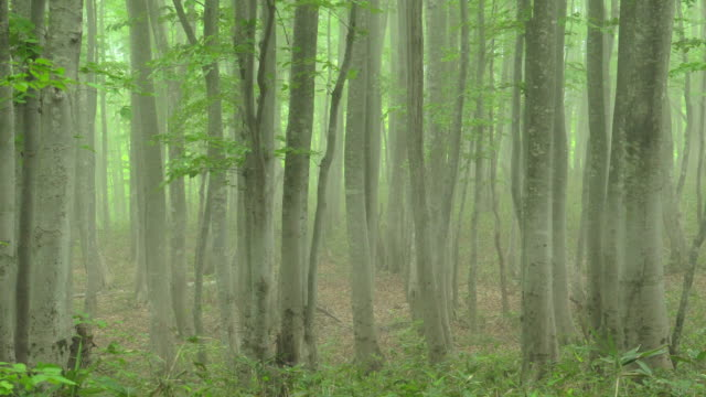 vídeos de stock, filmes e b-roll de floresta de faia verde fresca | volume 1/3 - shirakami sanchi