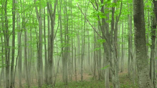 vídeos de stock, filmes e b-roll de floresta de faia verde fresca | panning - shirakami sanchi