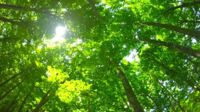 fresh green beech forest - copertura di alberi video stock e b–roll