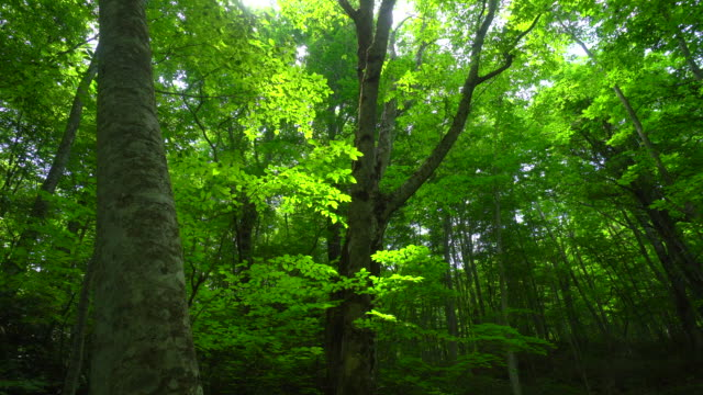 fresh green beech forest - luxuriant stock videos & royalty-free footage