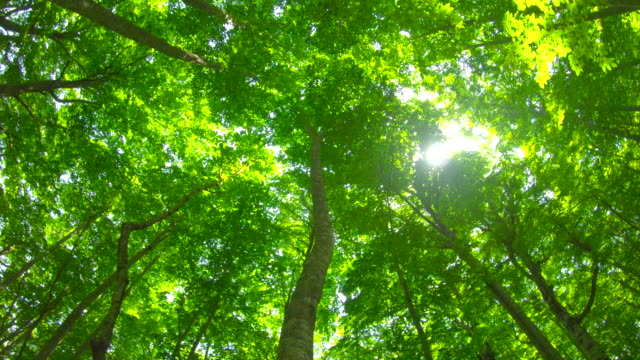 vídeos de stock, filmes e b-roll de floresta de faias verdes frescas - shirakami sanchi