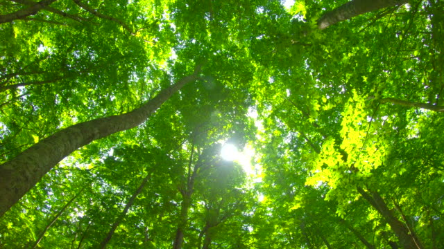 fresh green beech forest - inquadratura dal basso video stock e b–roll