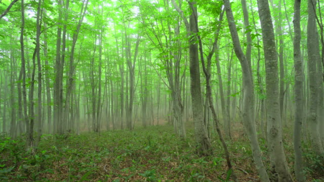fresh green beech forest - aomori prefecture stock videos & royalty-free footage
