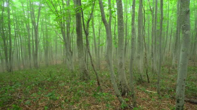 vídeos de stock, filmes e b-roll de floresta de faia verde fresca - shirakami sanchi