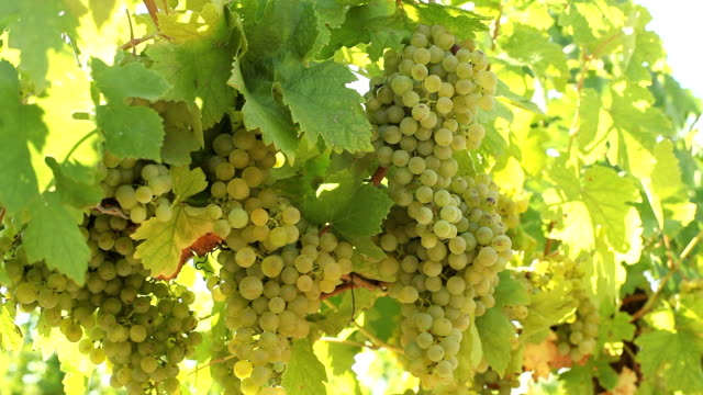 fresh green grapes on vine - grape leaf stock videos and b-roll footage