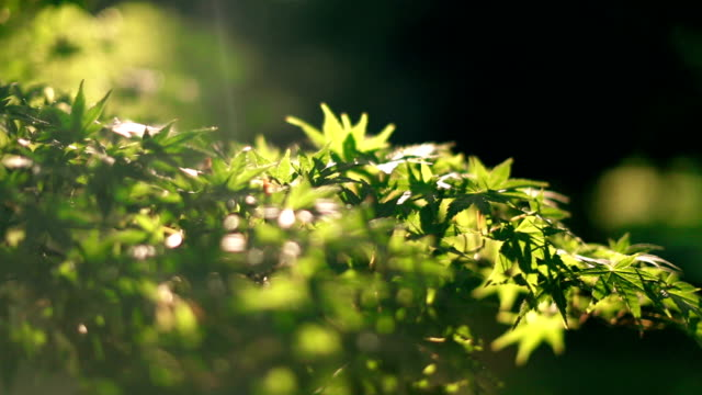 fresh green leaves in a sunny day - maple tree stock videos and b-roll footage