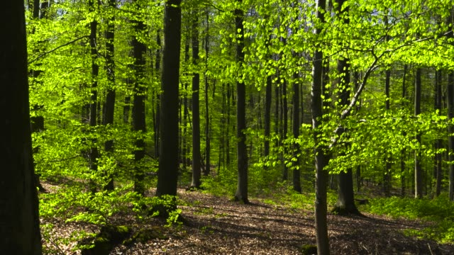 fresh green leaves of beech trees swaying in windy forest - deciduous stock videos & royalty-free footage