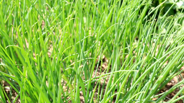 fresh green leaves of onions in the vegetable garden. - concepts stock videos & royalty-free footage