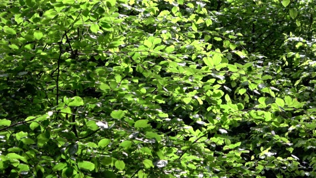 fresh green leaves on beech trees in spring, fagus - deciduous stock videos & royalty-free footage