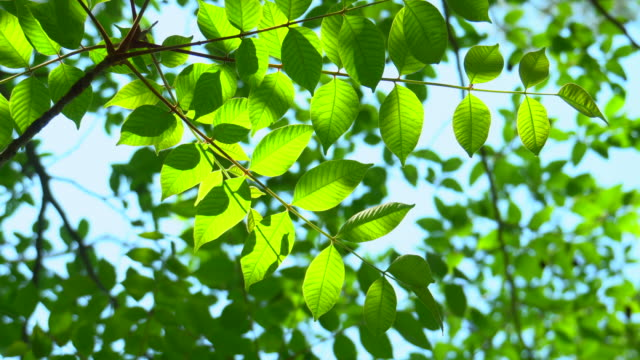 新緑の葉 - wood material点の映像素材/bロール