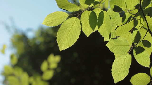 hd: fresh green leaves - beech tree stock videos and b-roll footage